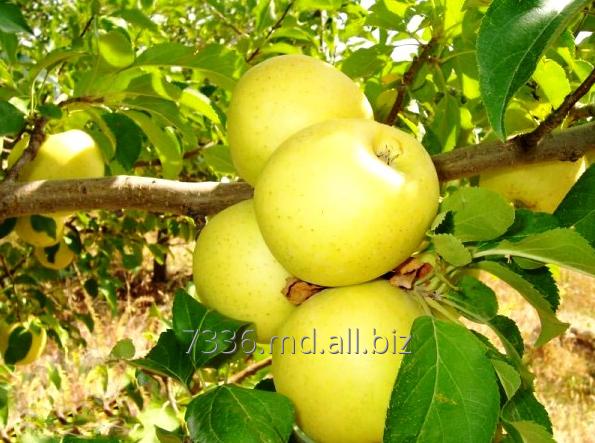Купить Яблоки Голден Делишес