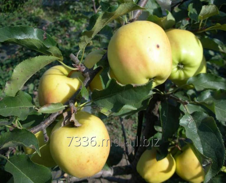 Купить Яблоки Голден Резистент