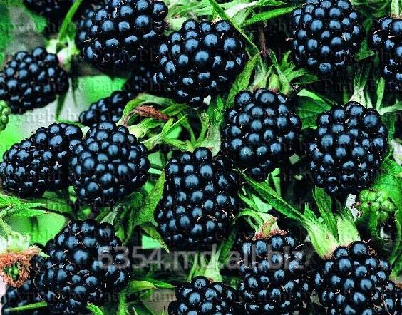 Купить Ежевика- BLACKBERRIES