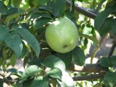 Купить Саженцы яблонь