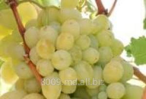Купить Виноград Victoria