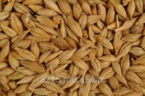 Купить Овес зерно