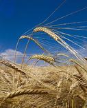 Buy Barley