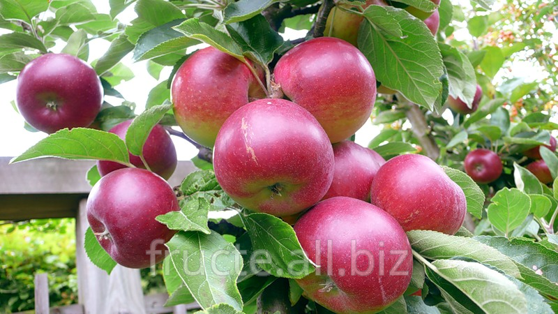Buy Plums in Moldova