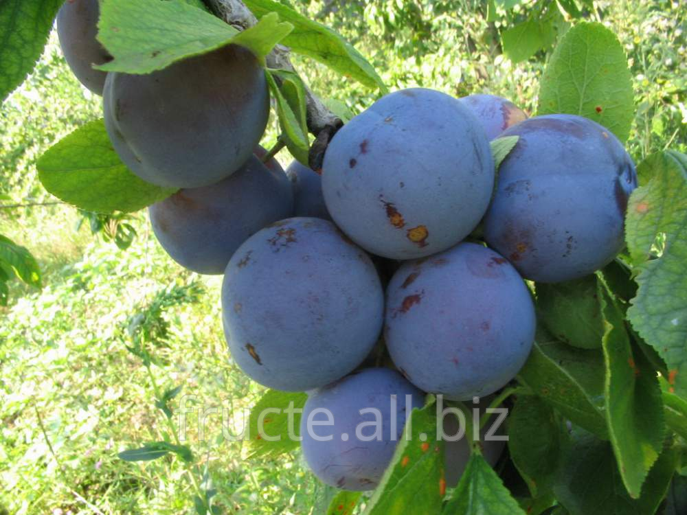 Buy Prune in Moldova