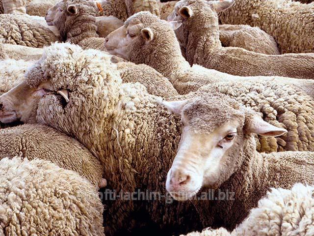 Купить Овцы