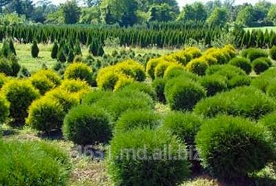 Купить Саженцы хвойных деревьев