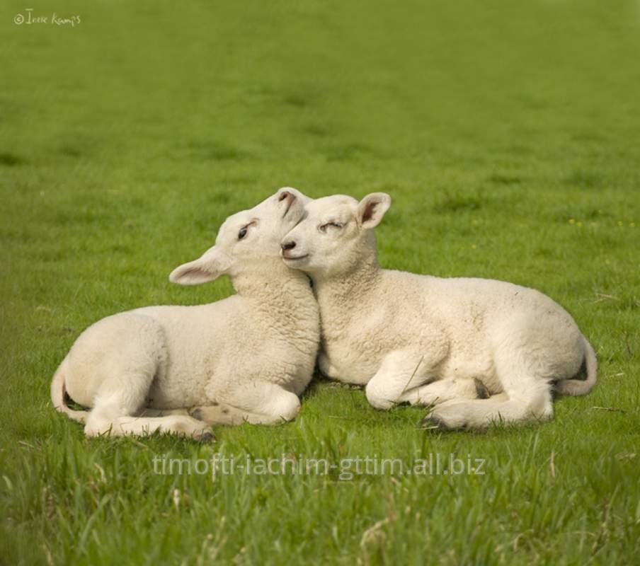 Buy Lambs