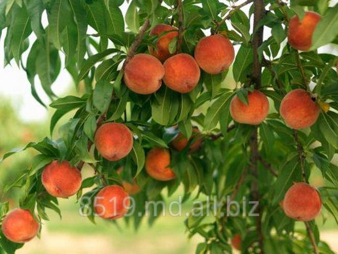 Купить Персики в Молдове