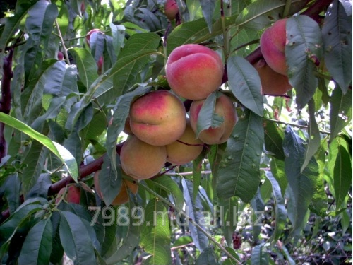 Персики в Молдове