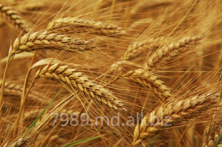 Зерно в Молдове,Зерно в Кишиневе