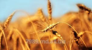 Продажа пшеницы в Молдове