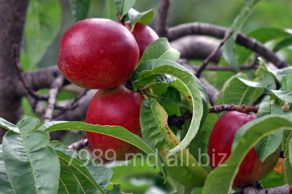 Купить Nectarine in Moldova