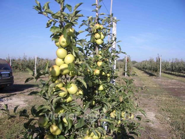 Купить Саженцы яблонь в Молдове
