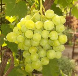 Купить Саженцы винограда Struguri ALB DE SURUCENI