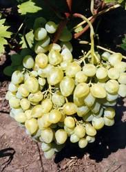 Купить Саженцы винограда ARCADIA