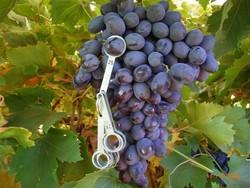 Купить Саженцы винограда AUTUMN ROYAL