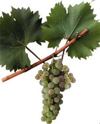 Купить Саженцы винограда BIANCA