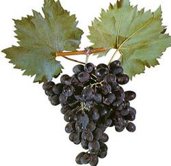 Купить Саженцы винограда MOLDOVA