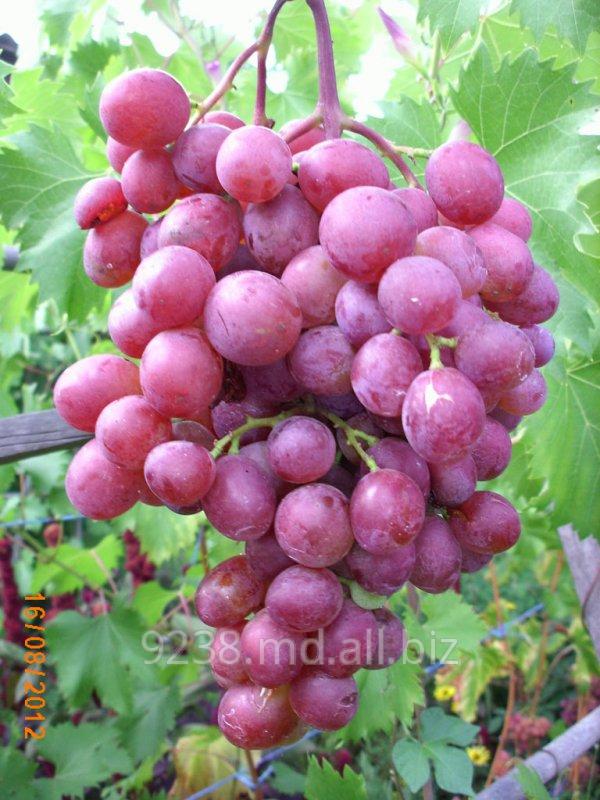 Купить Саженцы винограда VICTORIA