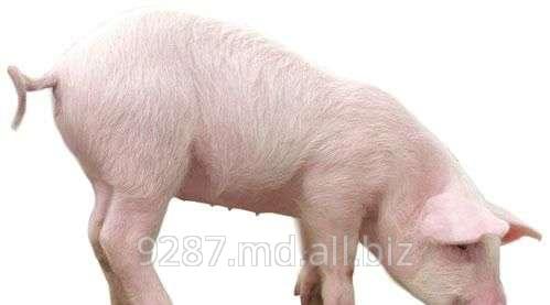 Купить Свиньи мясных пород в Молдове