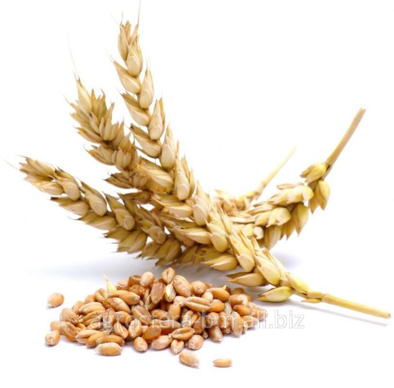 Пшеница продовольственная