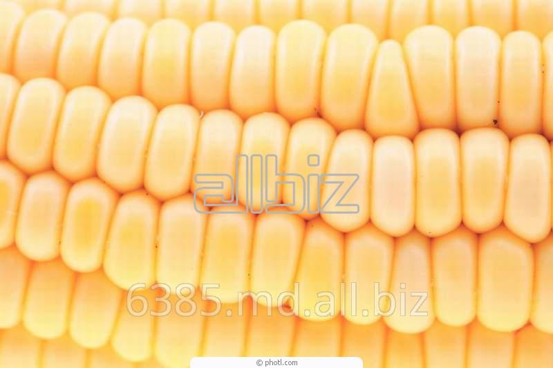 Купить Кукуруза зерно