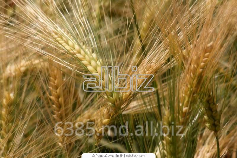 Купить Пшеница посевная