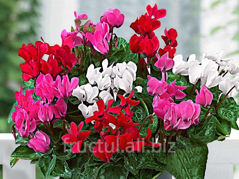 Buy Cyclamen - floare