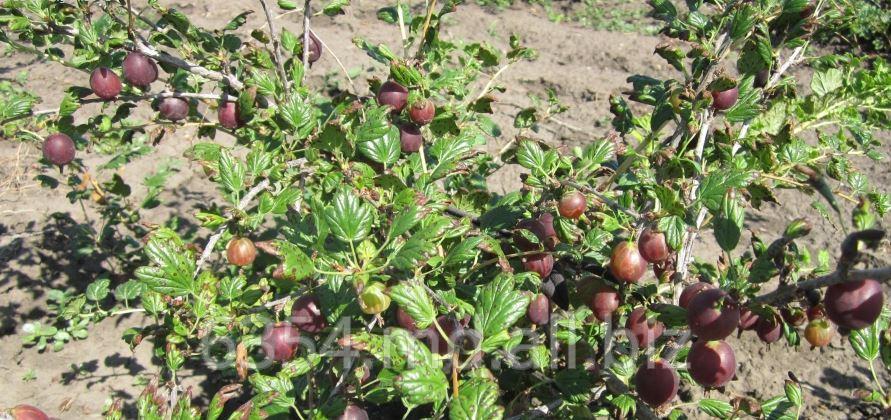 Купить Саженцы ягодных кустарников