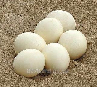 Buy Eggs duck in Moldova