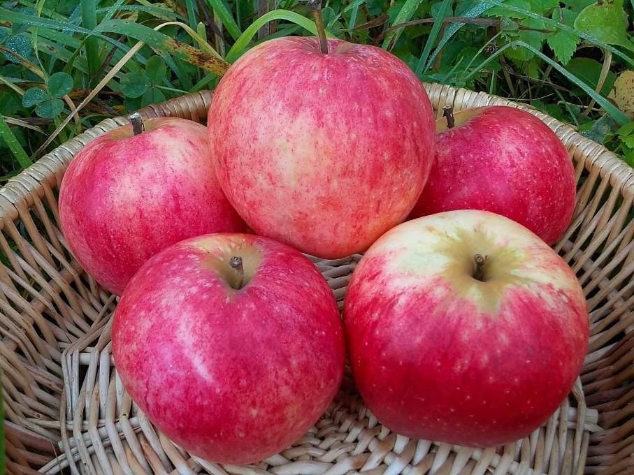 Buy Winter apples in Moldova