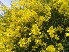 Spanish broom in Moldova