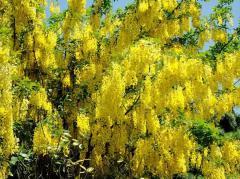 Broom Golden Shower