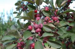 Paradise Apples in Moldova