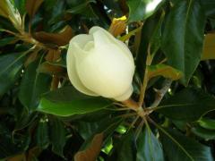 Magnolia (8 grades), winterhardy,