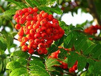 Mountain ash in Moldova