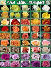 Розы чайно-гибридные в Молдове 100 сортов