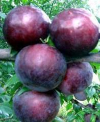 Angelin's plums