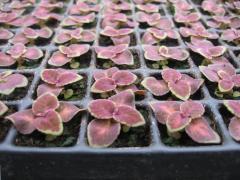 Răsaduri de flori din seminţe