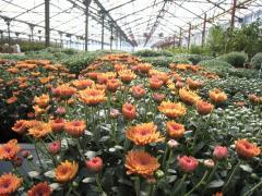 Crizanteme/chrysanthemum
