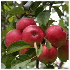 Lobo's apples