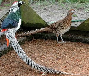 Pheasants in Moldova