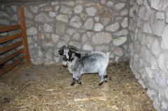 Goats in Moldova