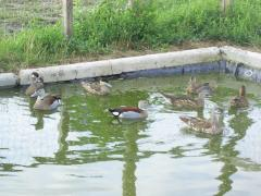 Ducks in Moldova