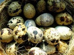 Eggs quail food