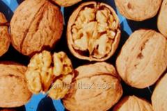 Saplings of Persian walnut grade Kostyuzhensky