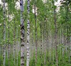 The birch to buy saplings