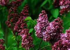 Lilac O. L. Shpet's memory