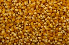 The corn is fodder, porumb furajer
